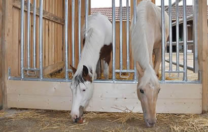 Feeding racks attached to wooden wall enclose two horses
